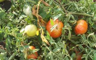 Фитофтора на помидорах: причины развития и профилактика