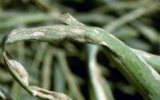 Пероноспороз: симптомы появления на луке, кабачке и помидоре