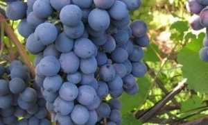 Виноград – Обзоры моделей, описание, отзывы владельцев