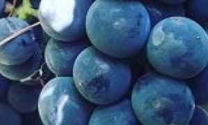 Виноград Изабелла: описание сорта, фото, отзывы, рекомендации по уходу